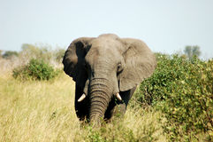 African Elephant. An African Elephant in the Kruger National Park, South Africa Stock Image