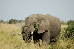 African Elephant. An African Elephant in the Kruger National Park, South Africa Stock Photography