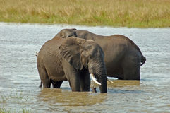 African Elephant. Two African Elephant bulls taking a bath in the Kruger National Park, South Africa Royalty Free Stock Photos