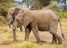 African Elephant. An image of an african elephant in kenya vector illustration