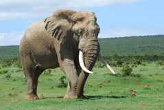 African Elephant. A full body of an African Elephant bull with big ears, trunk and tusks grazing and walking in the bushland of a game park in South Africa stock image