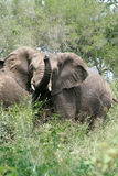 African Elephant. Playful Elephant at Kruger National Park in South Africa Royalty Free Stock Images