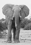 African elephant. A black-and-white picture of a big bull elephant was taken in Botswana stock photo