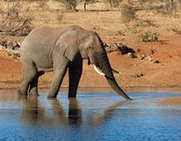 African Elephant. An African Elephant drinking in the Kruger Park, South Africa Stock Photos