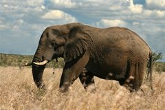 African Elephant. Grazing in the grasslands of South Africa royalty free stock images