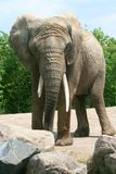 African Elephant. An African Elephant standing in front of some rocks Royalty Free Stock Photos