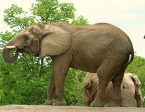 African Elephant. An African Elephant with its trunk in its mouth Stock Photos
