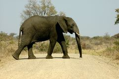 African elephant. Side view of a big African elephant crossing the road Stock Image