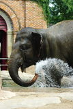 African Elephant. Washing/cooling itself at the Audubon Zoo in New Orleans, Louisiana Royalty Free Stock Image