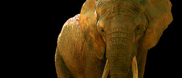 African Elephant. Image from an original 15x35 painting by Larry Jacobsen / AW-001 Stock Photography