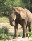 African Elephant. An African Elephant walking and cooling itself Stock Images
