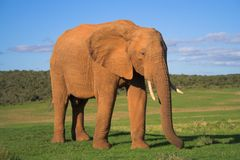 African Elephant. Bull feeding on the grass plains of africa Royalty Free Stock Images
