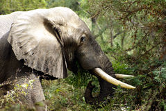African Elephant. Close-up of the head and shoulders of a African bull elephant. He is feeding on a bush. Photo was taken in Zambia stock images