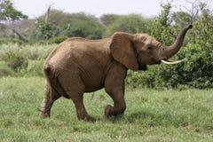 African Elephant. Elephant lifting trunk Royalty Free Stock Photo