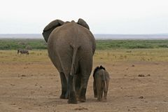 African elephant. A photo of an African elephant in the wild Stock Images