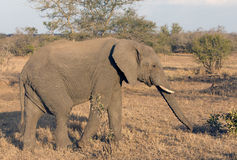 African elephant Royalty Free Stock Photography