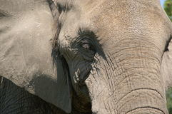 African elephant. Portrait of African elephant outdoors stock image