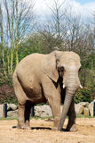 African Elephant. In an enclosure royalty free stock image