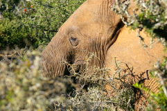 Southern african animals. African Elephant at Addo Elephant Park Stock Photography