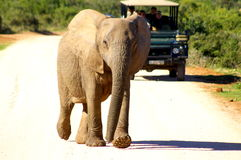 Southern african animals. African Elephant at Addo Elephant Park Stock Image
