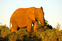 Southern african animals. African Elephant at Addo Elephant Park Royalty Free Stock Images