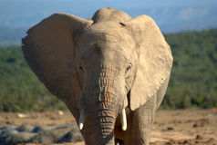 Southern african animals. African elephant at Addo Elephant Park Stock Photo