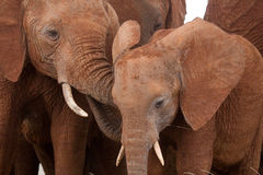 African elephant adolescents Stock Photo