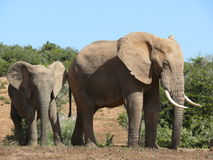 African elephant adult and juvenile. Adult elephant with young one standing in bushes, Addo National Park, Port Elizabeth, South Africa Royalty Free Stock Photos