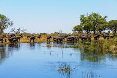 African elephant Africa safari wildlife and wilderness. Herd of African elephant with babies, Loxodonta drinking on on small lagoon in landscape of Caprivi strip Royalty Free Stock Image