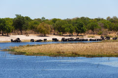 African elephant Africa safari wildlife and wilderness. Herd of African elephant with babies, Loxodonta drinking on on small lagoon in landscape of Caprivi strip Royalty Free Stock Images