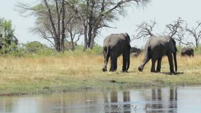 African elephant Africa safari wildlife and wilderness stock video footage