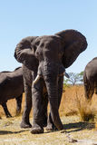 African elephant Africa safari wildlife and wilderness Royalty Free Stock Photography