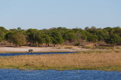 African elephant Africa safari wildlife and wilderness. African elephant, Loxodonta drinking on on small lagoon in landscape of Caprivi strip game park, Nambwa Royalty Free Stock Photos