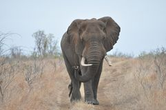 African Elephant. On a early morning walk Stock Images
