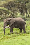 African Elephant. On the grass in Ngorongoro Crater, Ngorongoro Conservation Area, Tanzania. Africa. s are more famous for their long tusks. Here they are royalty free stock photo