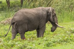 African Elephant. On the grass in Ngorongoro Crater, Ngorongoro Conservation Area, Tanzania. Africa. s are more famous for their long tusks. Here they are stock photography