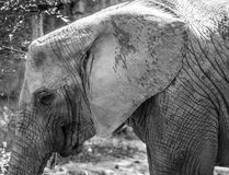 The African elephant. Loxodonta africana is a mammal of the order of the octopuses royalty free stock photo