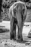 The African elephant. Loxodonta africana is a mammal of the order of the octopuses stock photo