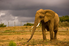 African Elephant against a dark sky Royalty Free Stock Photo
