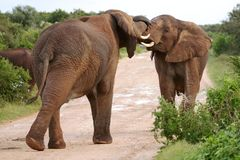 African Elephant Aggression Royalty Free Stock Images