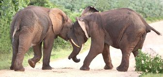 African Elephant Aggression. Two male African elephants trying assert their dominance Stock Images