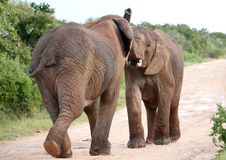 African Elephant Aggression. Two male African elephants trying assert their dominance stock photo