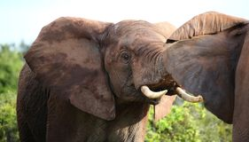 African Elephant Aggression Royalty Free Stock Photos