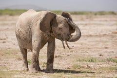 African, Elephant, Amboseli, Kenya Royalty Free Stock Image