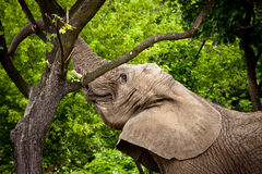 African elephant animal. In green park Royalty Free Stock Image
