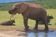 African elephant and antelope. African elephant by watering hole with antelope in background Royalty Free Stock Image