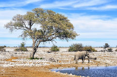 African Elephant At Water Pool In Etosha National Park, Namibia Stock Images