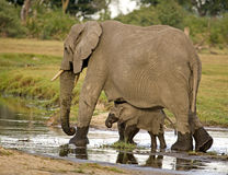 African Elephant and Baby. African Elephant  (Loxodonta africana) cow protecting her calf Stock Photography