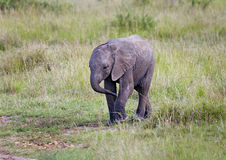 African Elephant Baby. In savanna royalty free stock photography