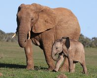 African Elephant Baby and Mom. African Elephant Baby and Mother walking on green grass royalty free stock image